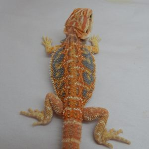 Available Bearded Dragons